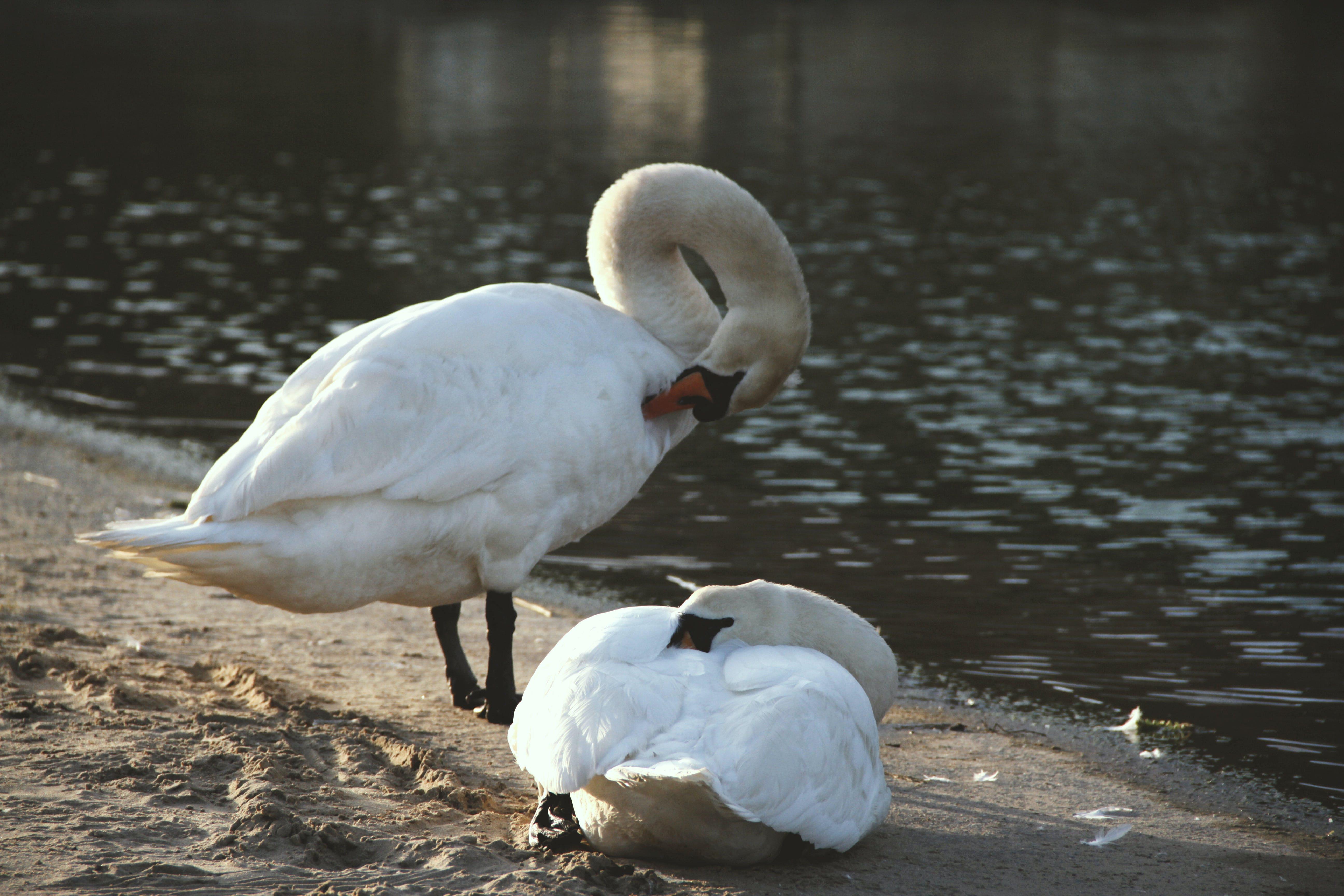 Základová fotografie zdarma na téma #wildlife, bílé labutě, divočina, dvě labutě