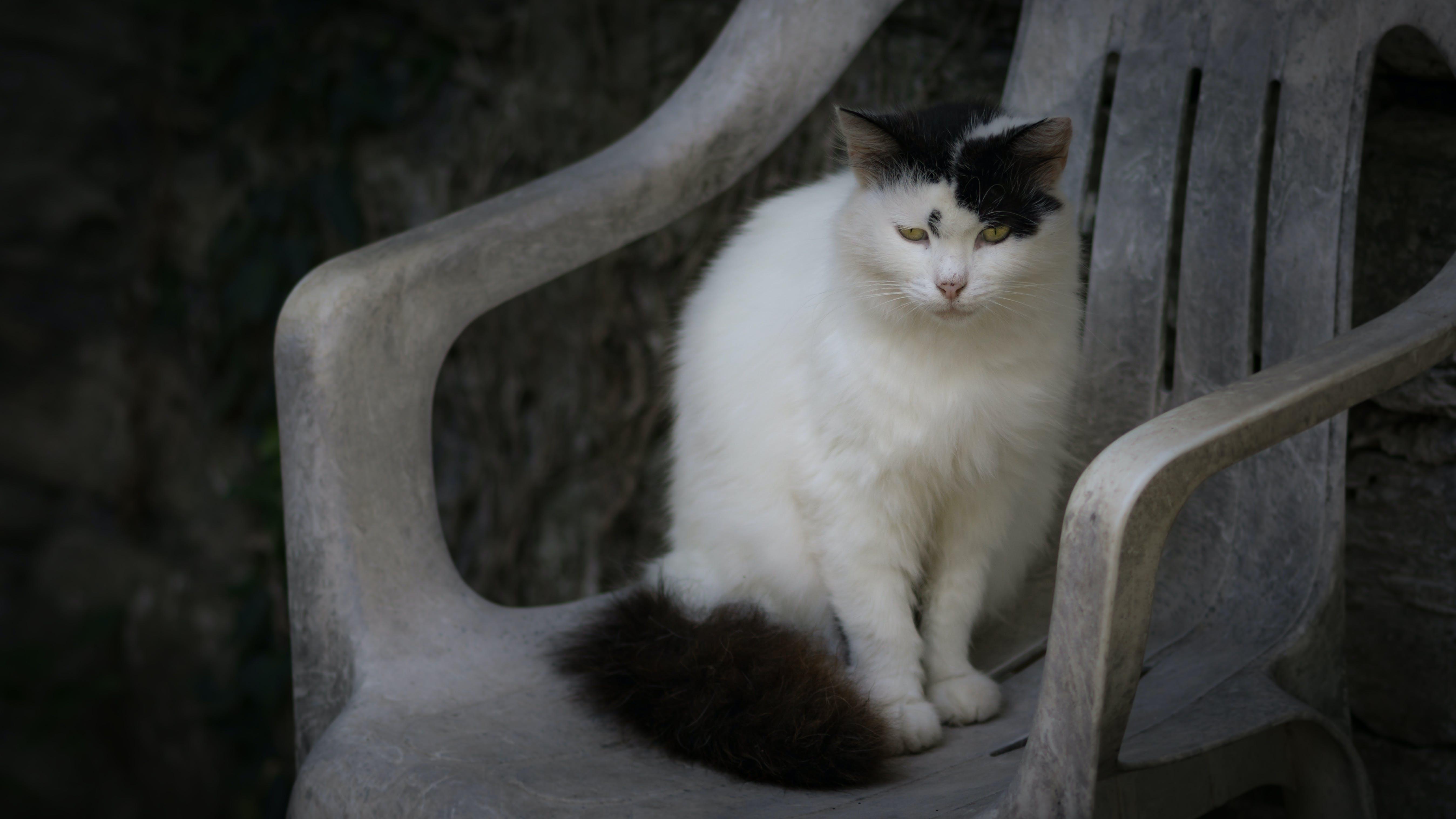 Free stock photo of animal, pet, chair, cat