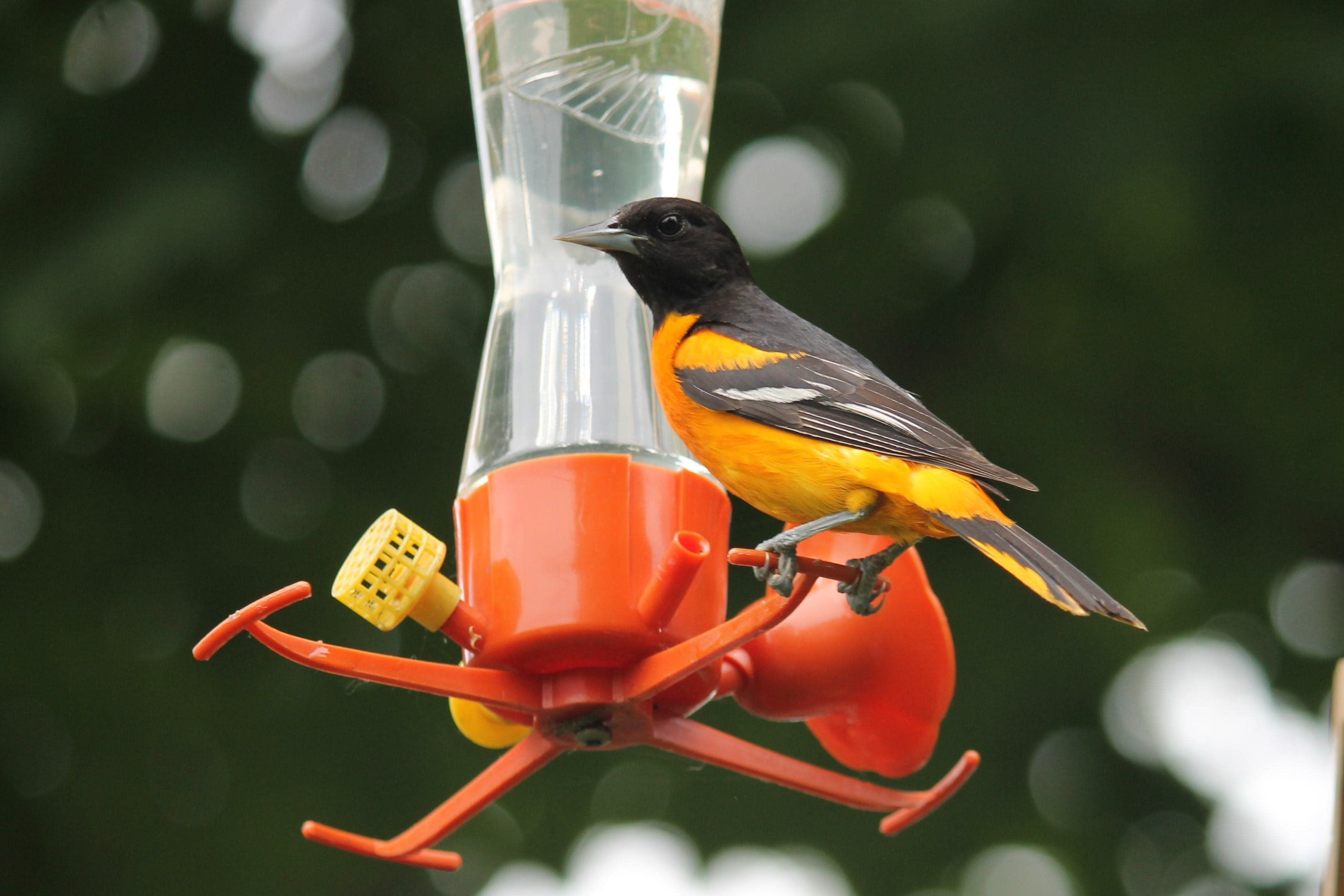 Free stock photo of #birds, nature photography, orioles, summer