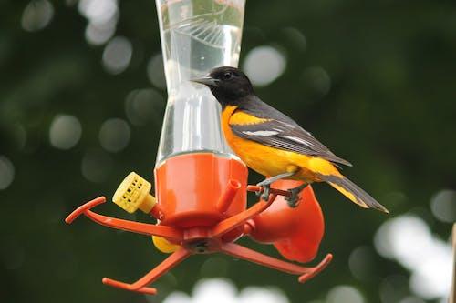 Ingyenes stockfotó #madarak, nyár, orioles, természetfotózás témában