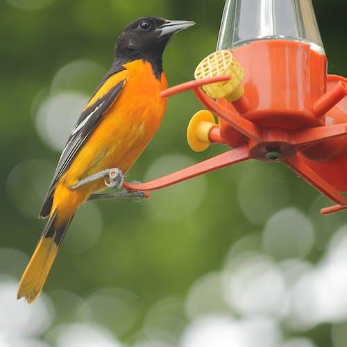 Ingyenes stockfotó #madarak, nyár, orole, természetfotózás témában