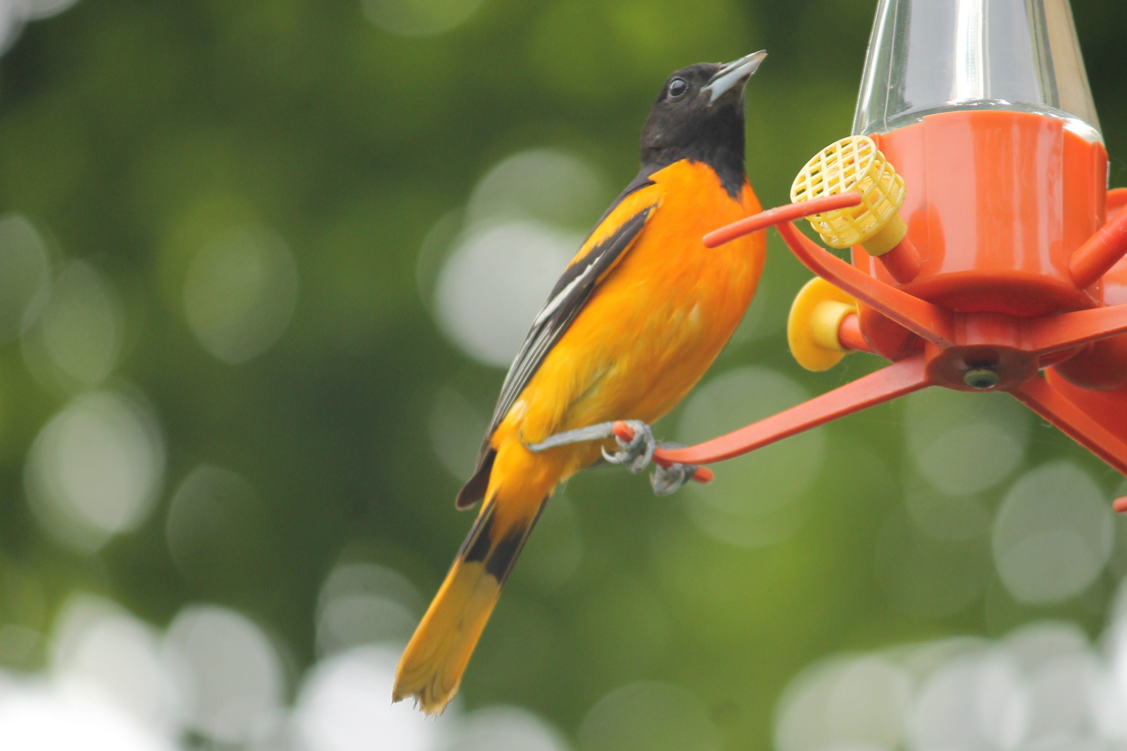 Free stock photo of #bird, nature photography, oriole, summer