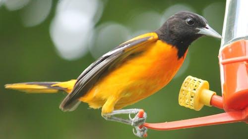 Ingyenes stockfotó #madár, nyár, sárgarigó, természetfotózás témában