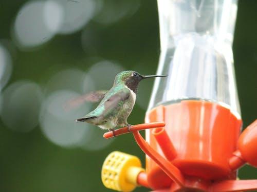 Ingyenes stockfotó #madár, kolibri, nyár, természetfotózás témában
