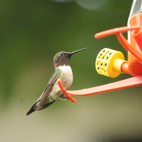 Ingyenes stockfotó #madarak, kolibri, nyár, természetfotózás témában