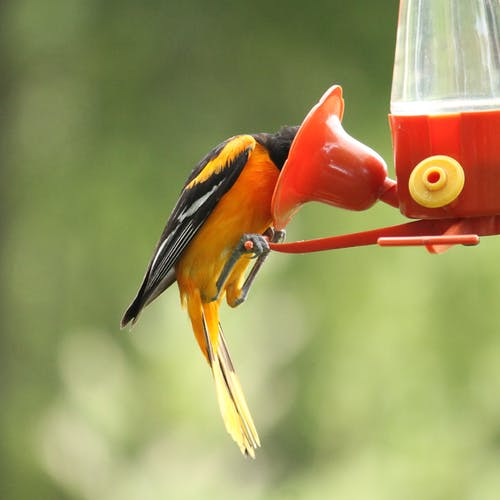 Ingyenes stockfotó #madarak, nyár, sárgarigó, természet témában