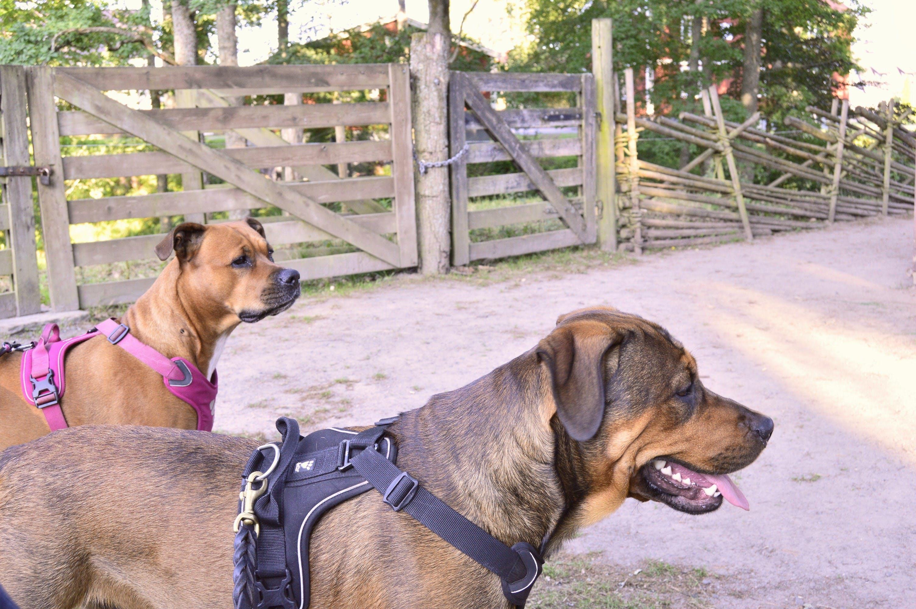Ingyenes stockfotó Amerikai staffordshire terrier, apladalen, aranyos, barát témában