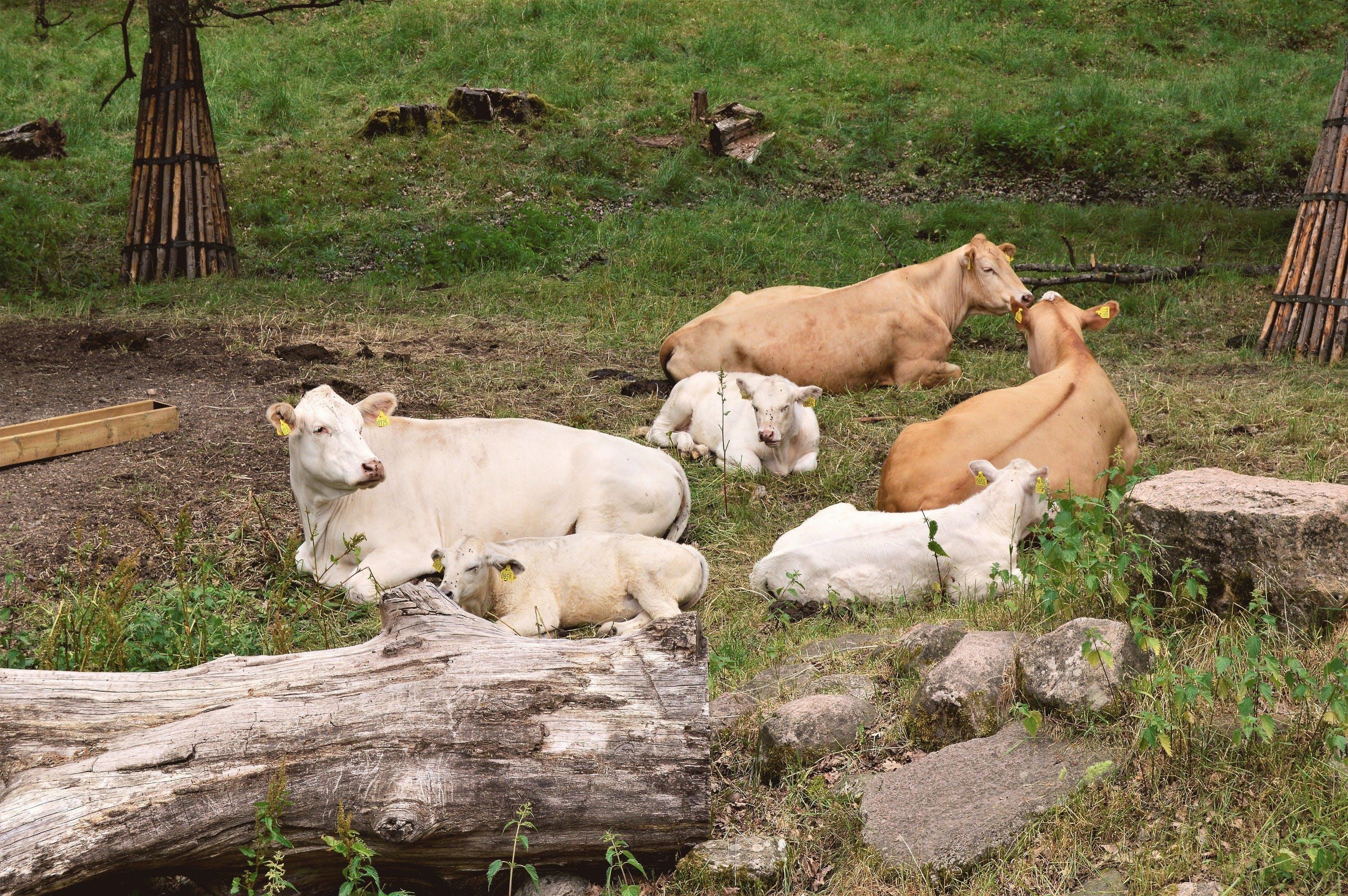 Free stock photo of Apladalen, calf, calves, cow