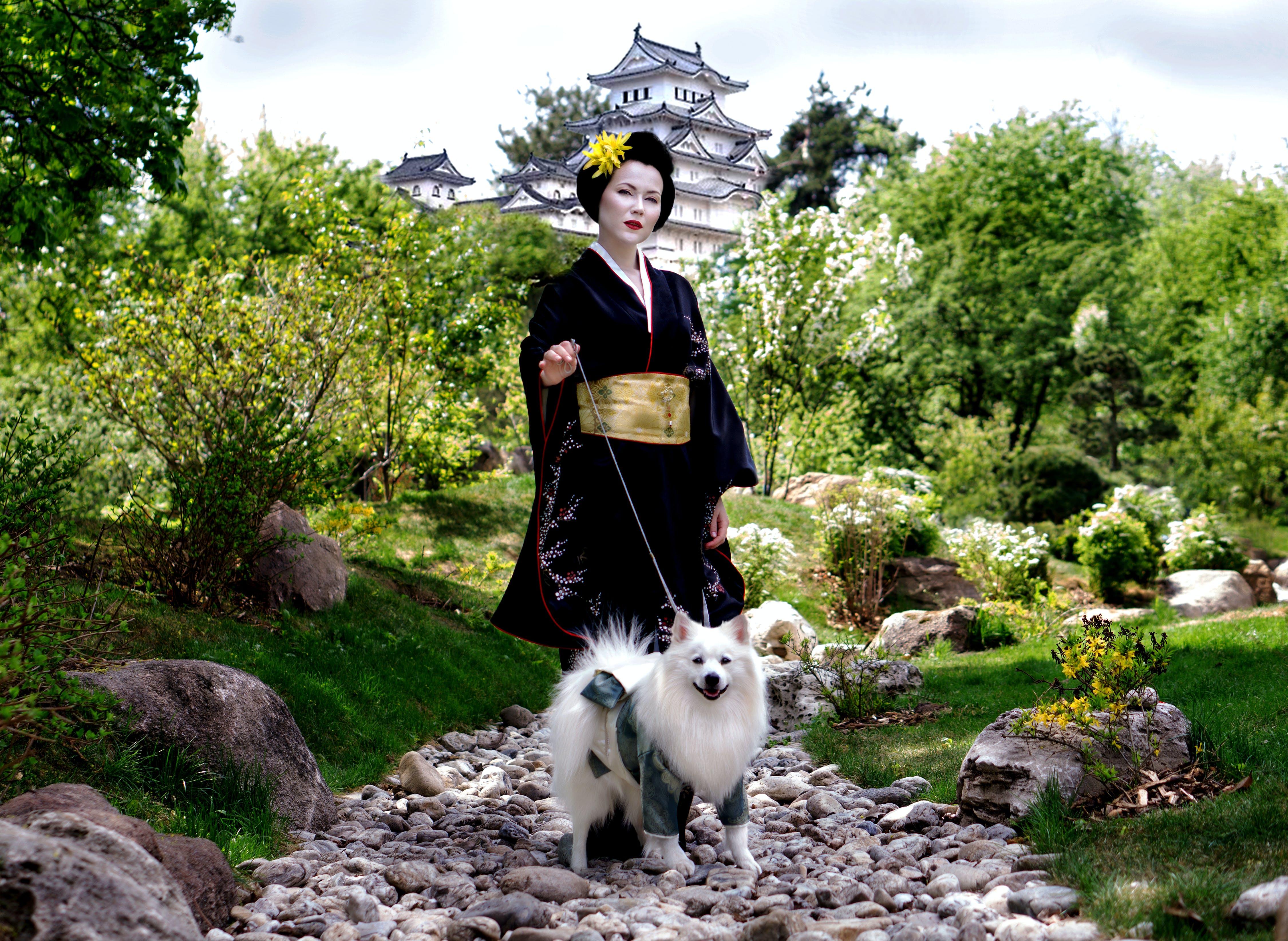 Free stock photo of dogs, geisha, japan, Japanese Spitz