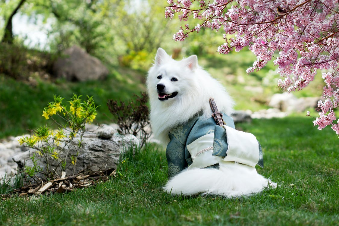 Adult Medium-coated White Dog Standing on Grass Field Beside a Cherry Blossom Tree