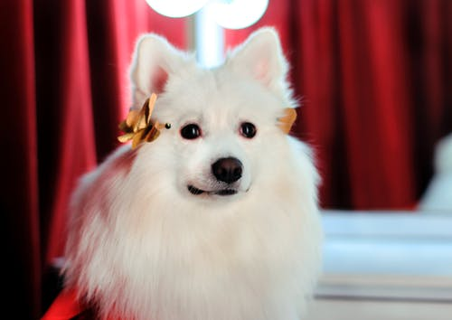 Бесплатное стоковое фото с белые собаки, веселые собаки фото, домашние животные кутюрье simba, император