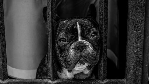 Black and White French Bulldog
