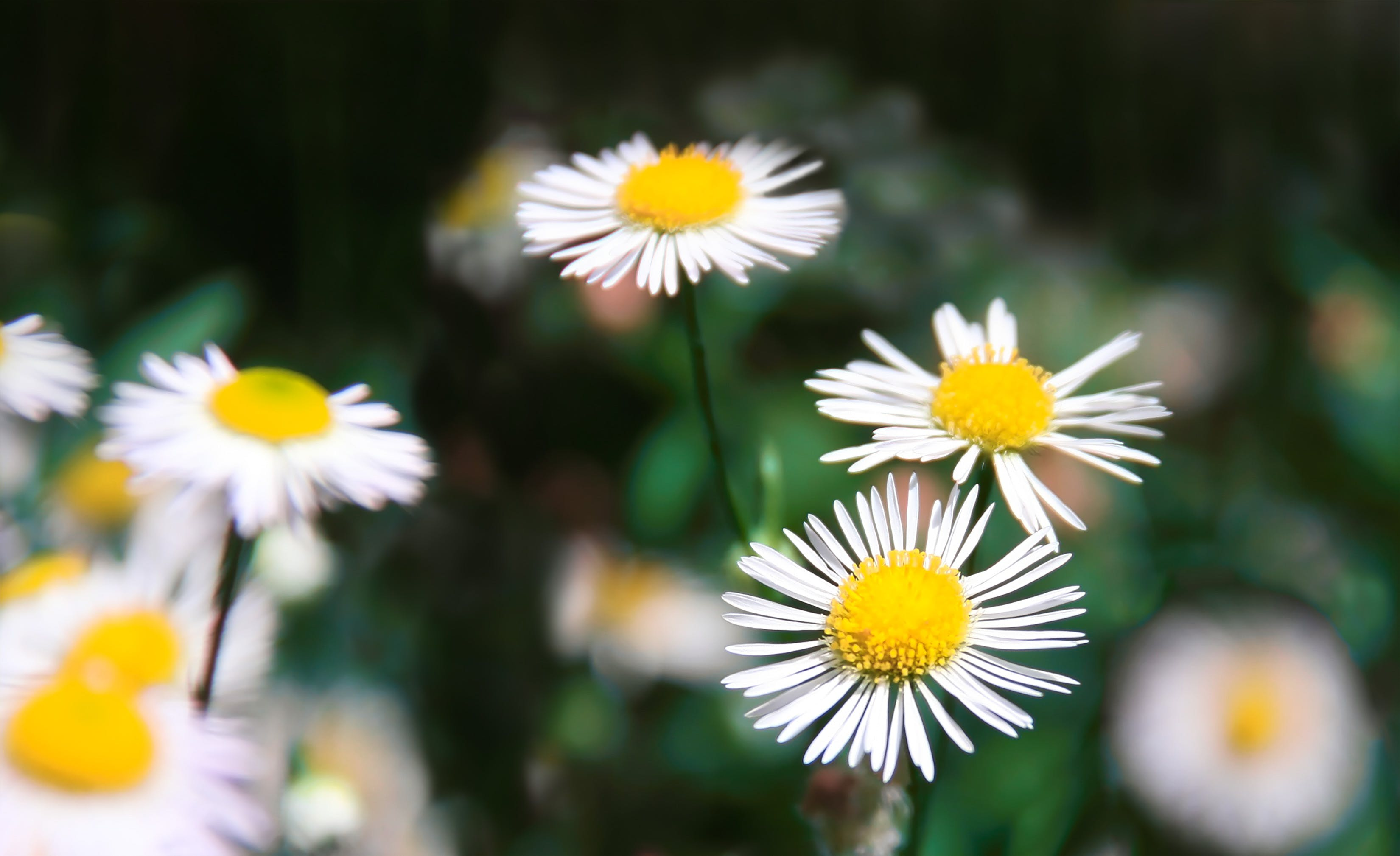Selective Focus Photography Of Daisies