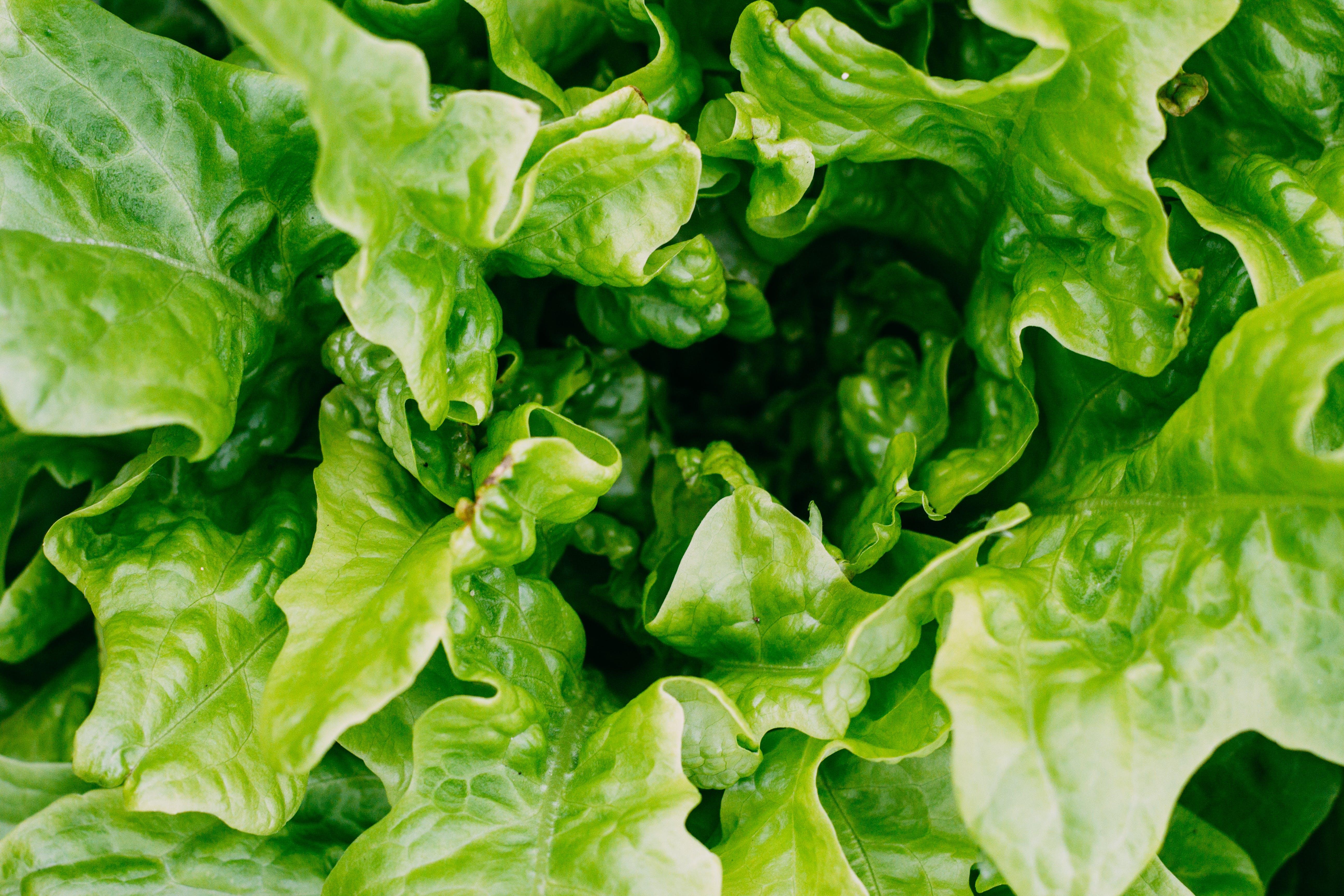 レタス, 健康, 工場, 庭園の無料の写真素材