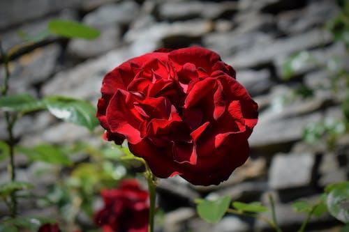 ローズ, 壁, 庭園, 植物学の無料の写真素材