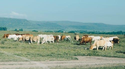 Ảnh lưu trữ miễn phí về bầy đàn, bò cái, cánh đồng, chăn nuôi