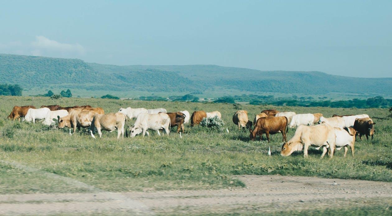 αγελάδες, αγέλη, αγρόκτημα