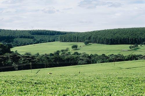 Fotos de stock gratuitas de África, campo, campos de cultivo, césped