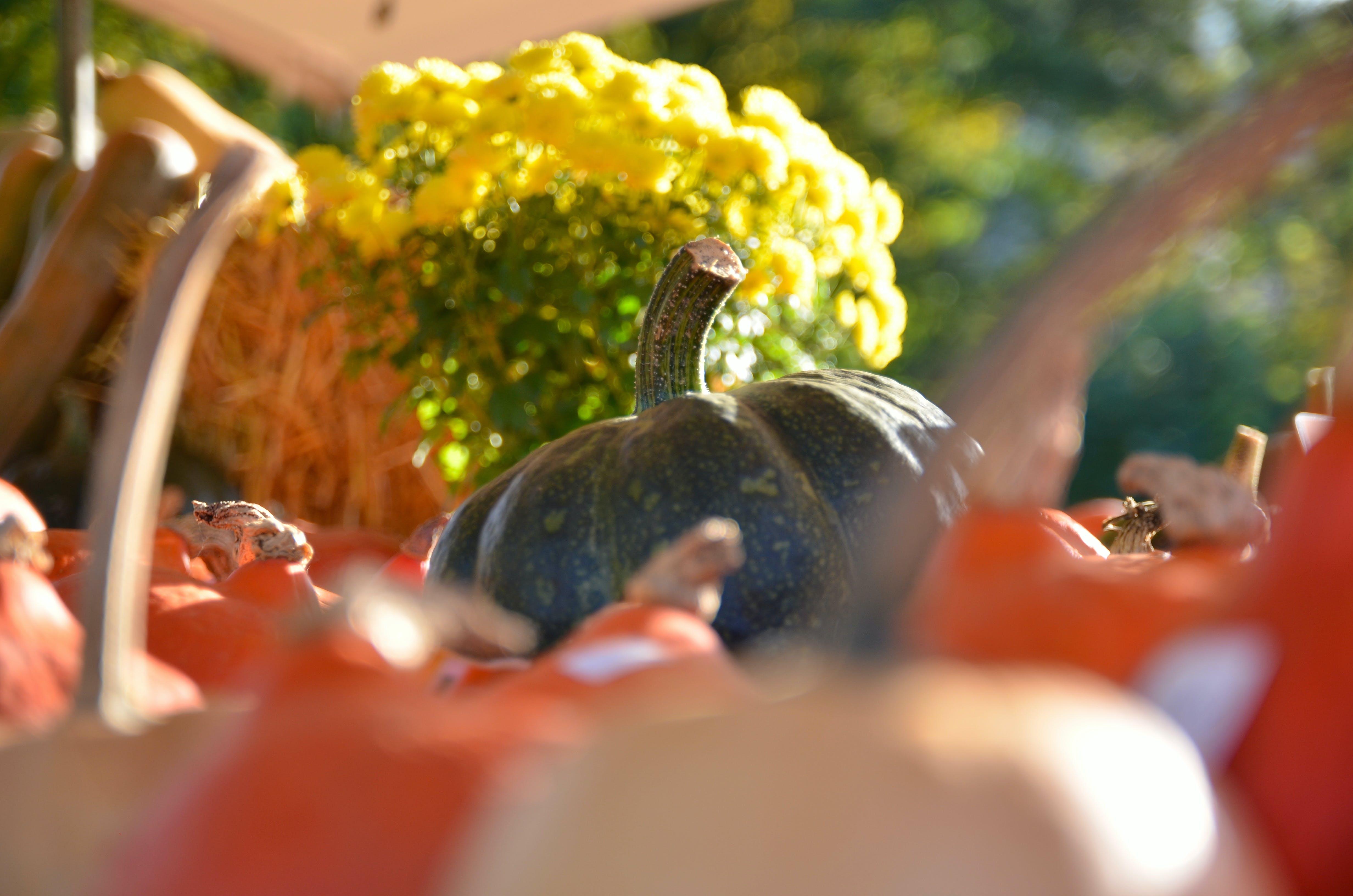 Kostenloses Stock Foto zu gemüse, halloween, kürbis, natur