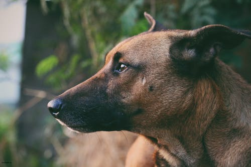 Shallow Focus Photography of Adult Brown Black Mouth Cur