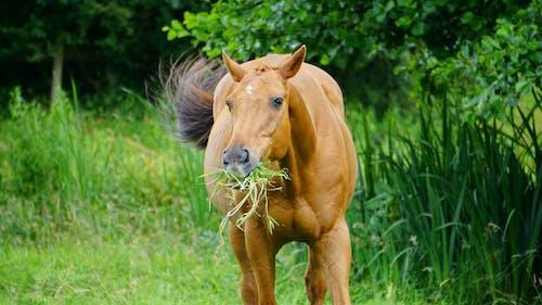Základová fotografie zdarma na téma domácí, farma, hnědá, hospodářská zvířata