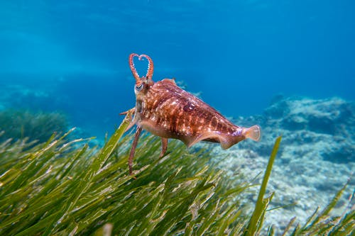 Free stock photo of beautiful, blue, color, cuttlefish