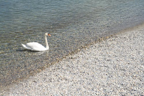 Free stock photo of animal, beach, swan