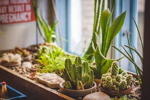 Kostnadsfri bild av anläggning, kaktusar, kastruller, krukväxter