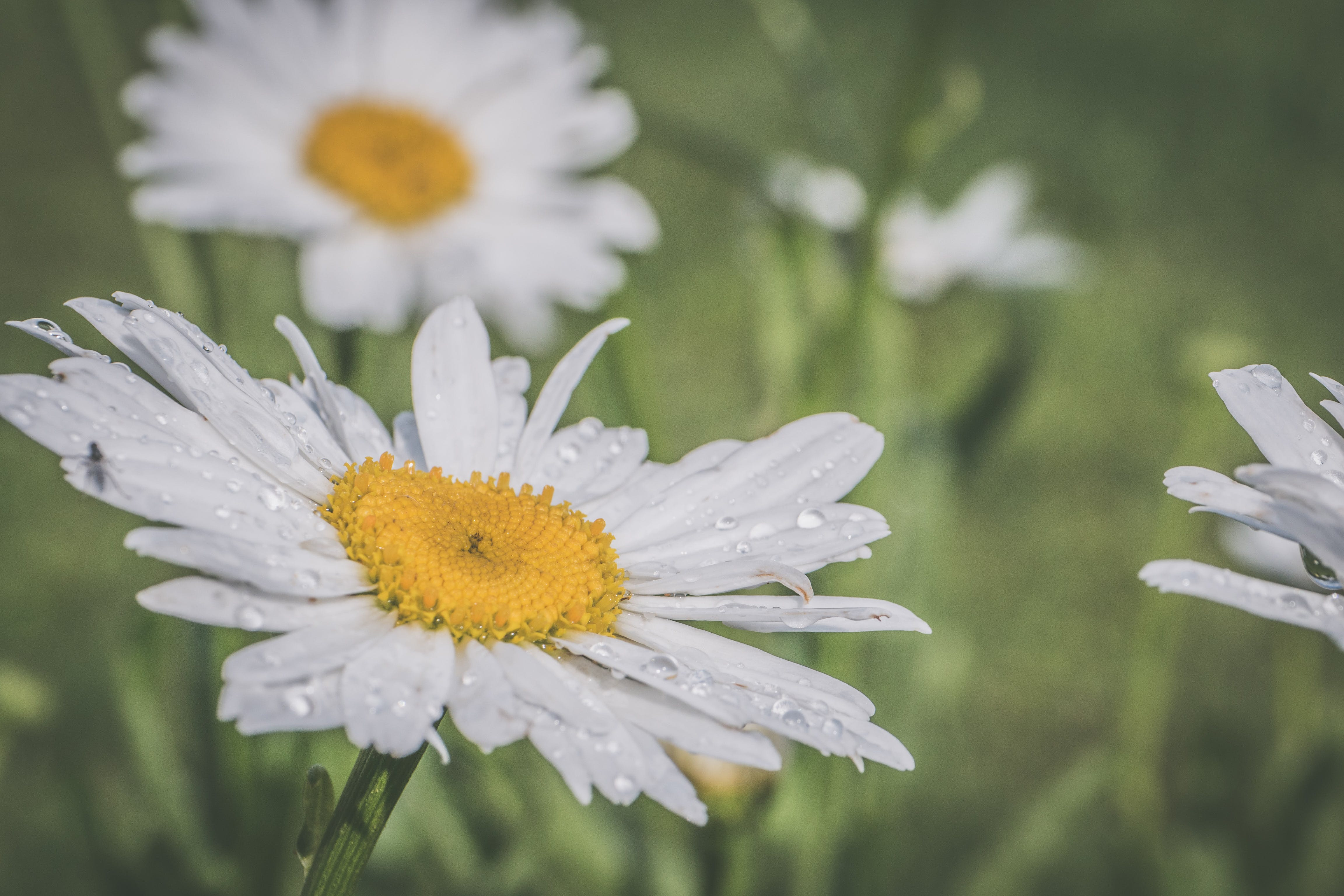คลังภาพถ่ายฟรี ของ ดอกเดซี, ดอกไม้, น้ำค้าง, ฝนตก