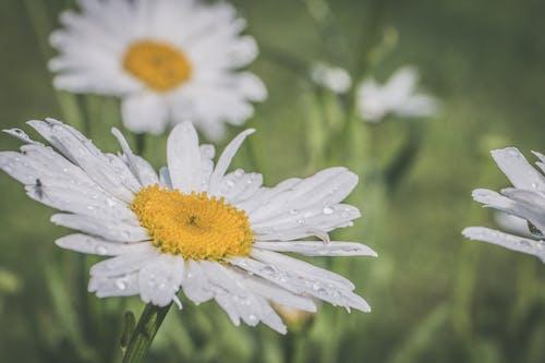 꽃, 데이지, 매크로, 빗방울의 무료 스톡 사진