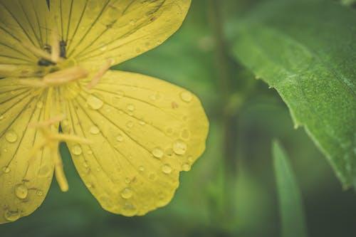 Fotobanka sbezplatnými fotkami na tému detailný záber, flóra, kvapky dažďa, kvet