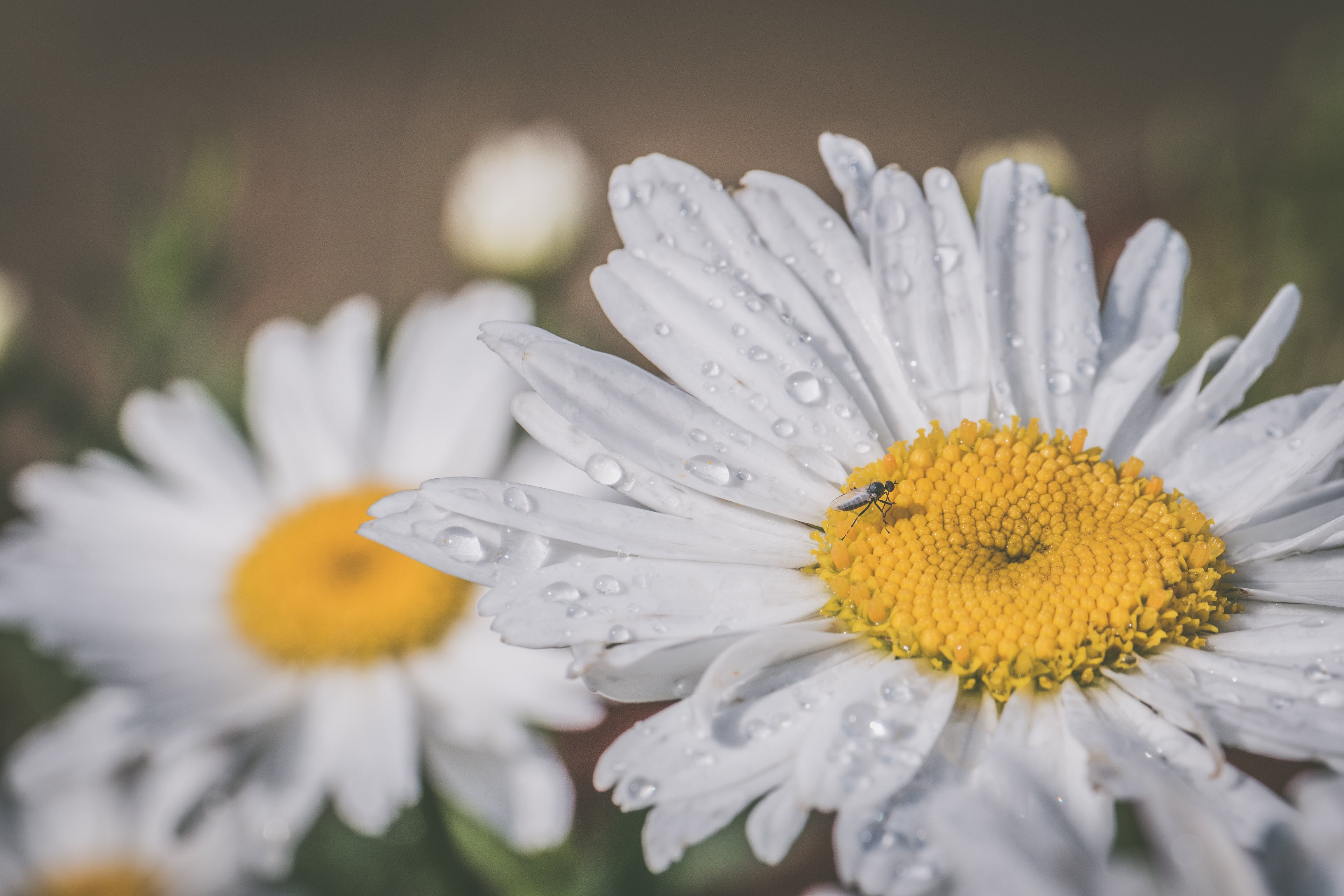 Macro Photography Of White Daisy Flowers