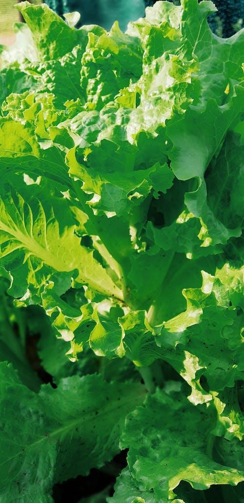 Ilmainen kuvapankkikuva tunnisteilla luonto, salaatti