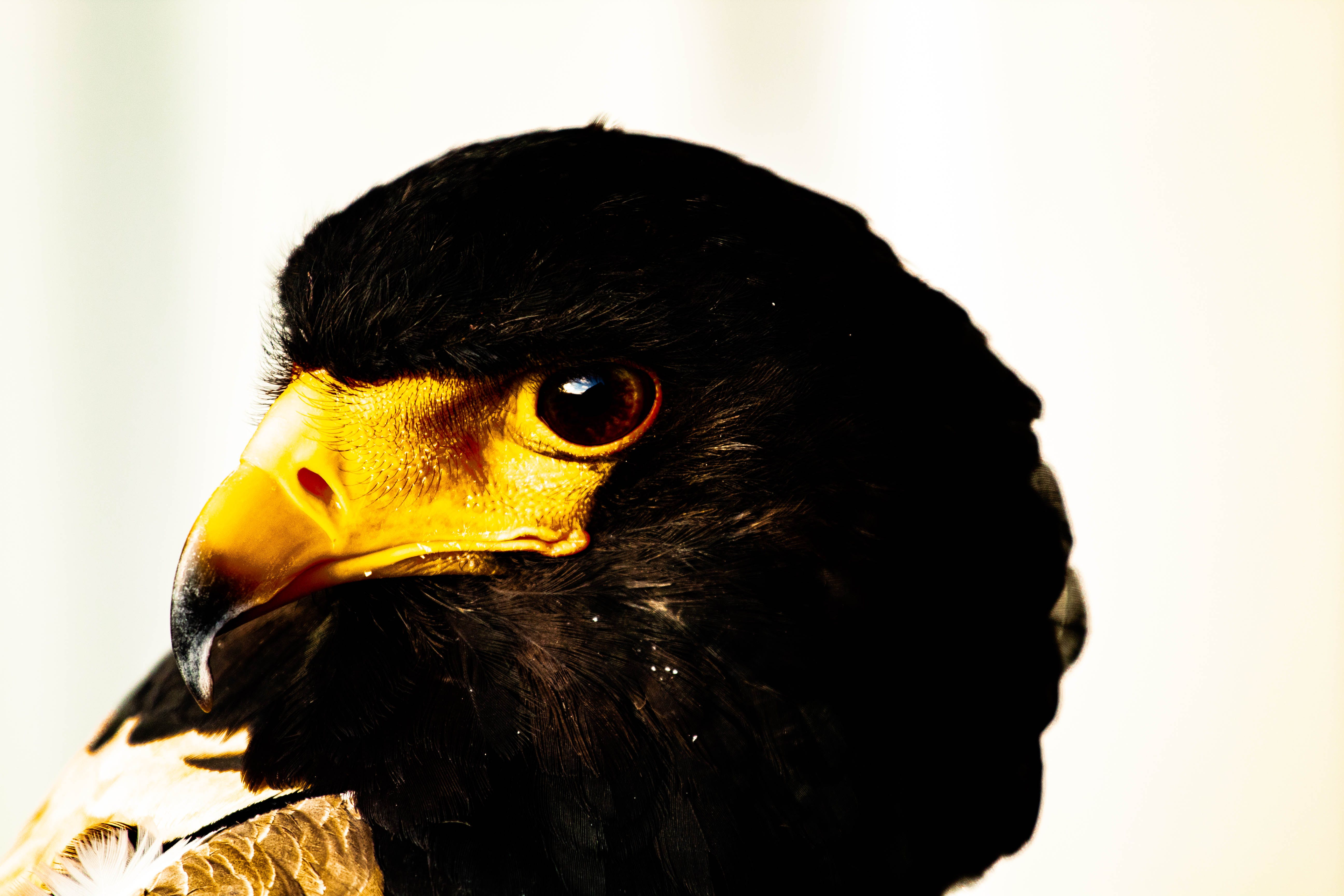 Free stock photo of bird, bird of prey, hawk