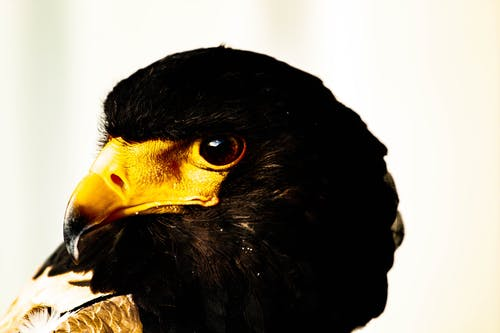 Free stock photo of bird of prey, hawk