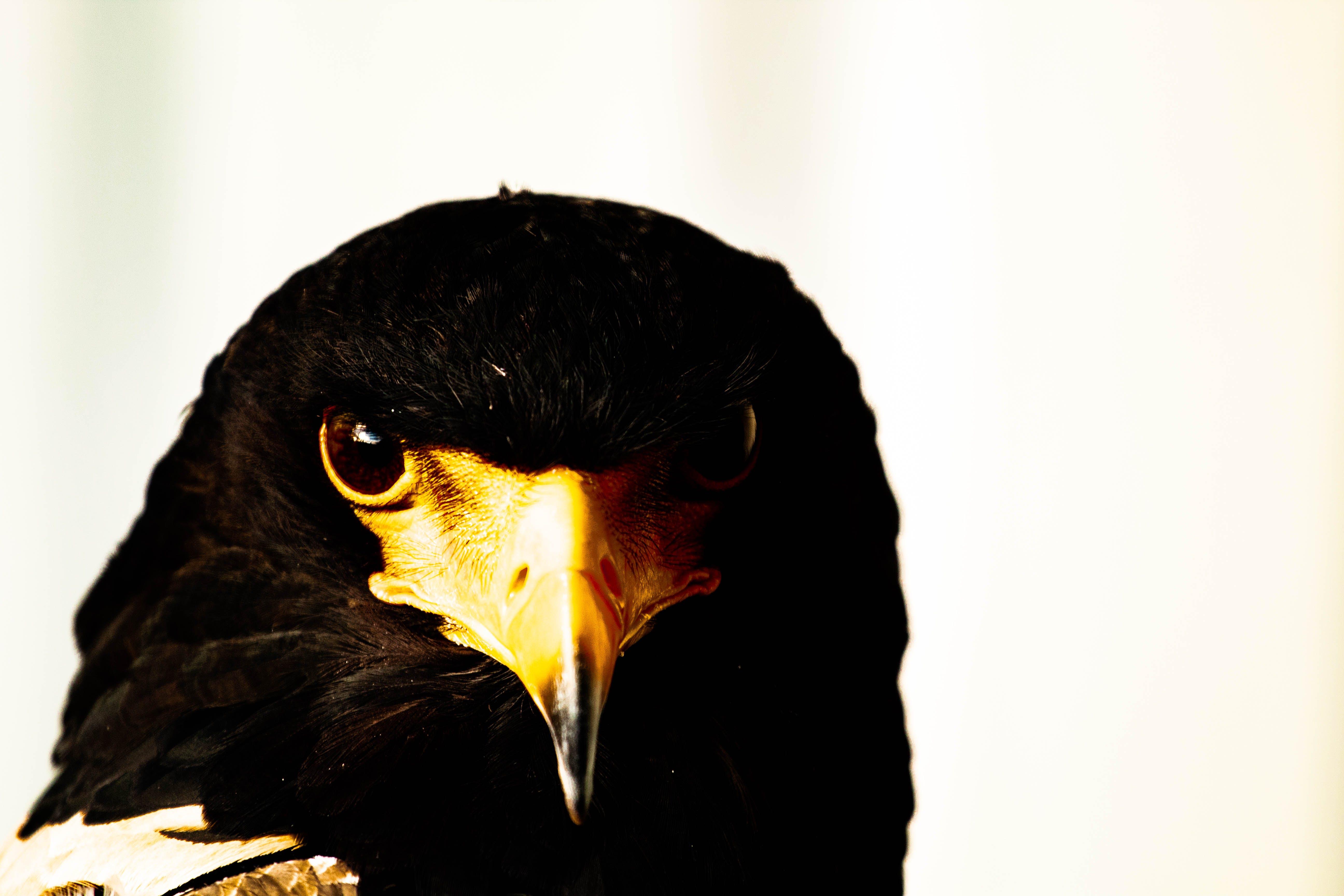 Бесплатное стоковое фото с Белоголовый орлан, белый фон, глаза, дикая природа