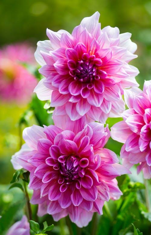 Gratis arkivbilde med blomster, natur, rosa blomster, vakre blomster