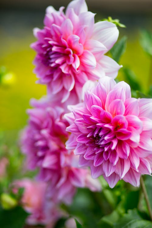 Gratis arkivbilde med blomster, natur, rosa blomst, vakre blomster