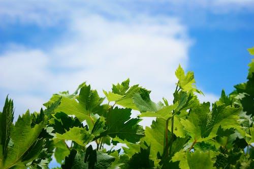 녹색, 덩굴, 배경, 포도밭의 무료 스톡 사진