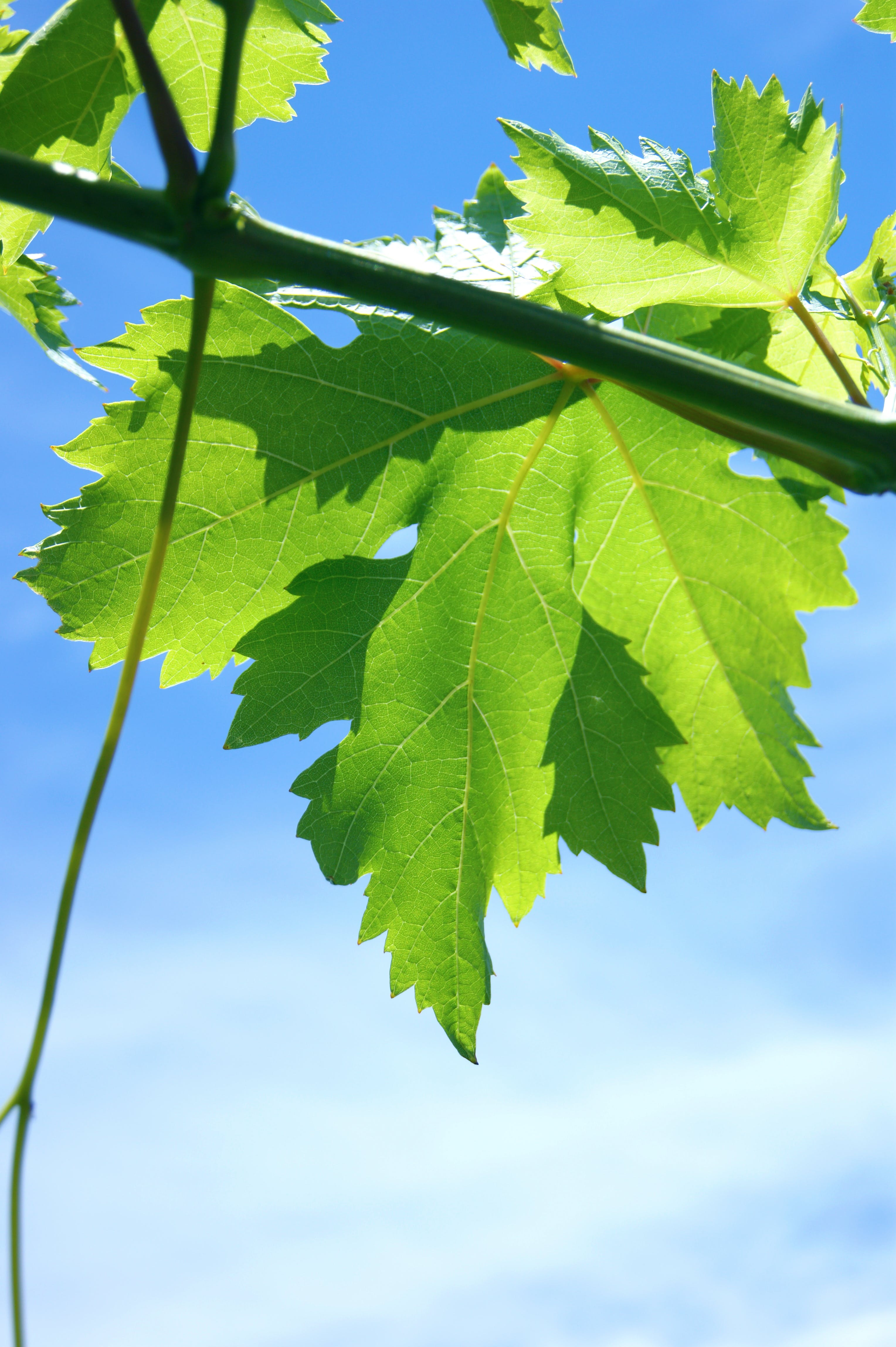 Free stock photo of leaf, green, blue sky, portugal