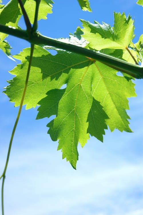 녹색, 덩굴, 포르투갈, 푸른 하늘의 무료 스톡 사진