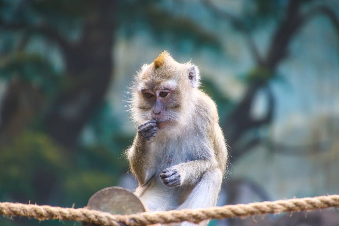 Wildlife Photo of Rhesus Macaque Monkey.