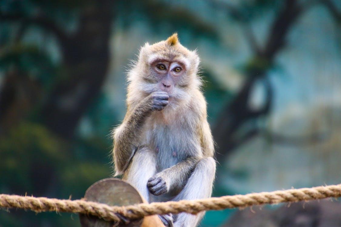 Brown Monkey on Brown Rope Eating