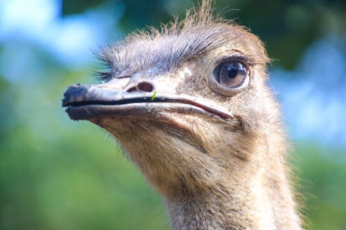 Closeup Photo of Ostrich Head