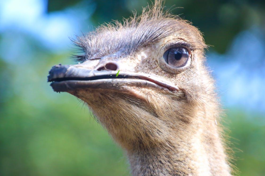Closeup Photo of Ostrich Head