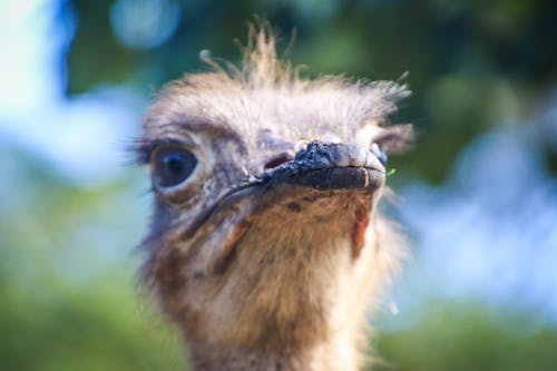 คลังภาพถ่ายฟรี ของ การถ่ายภาพสัตว์, นกกระจอกเทศ, สัตว์, โคลสอัป