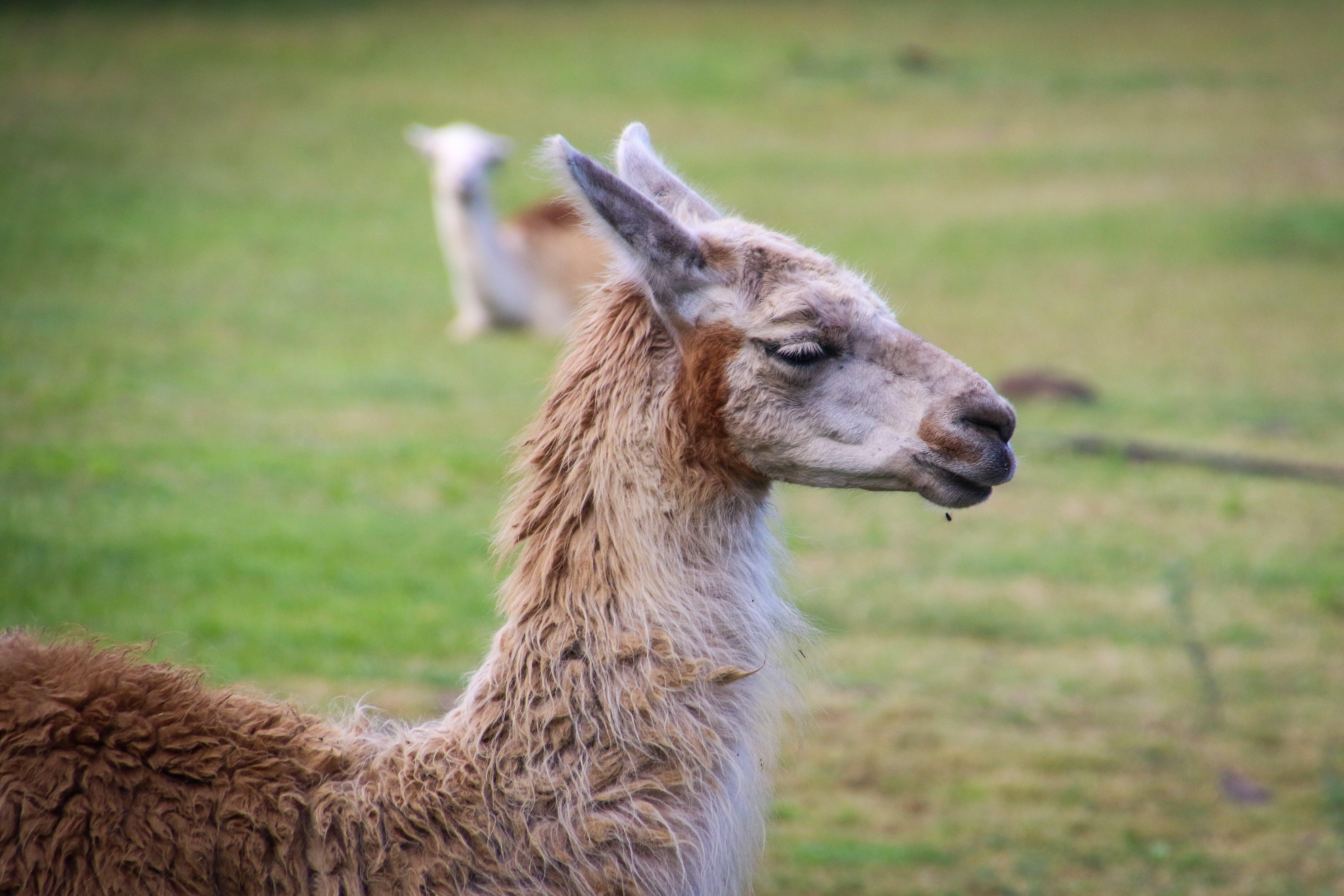 Shallow Focus Photography of Llama