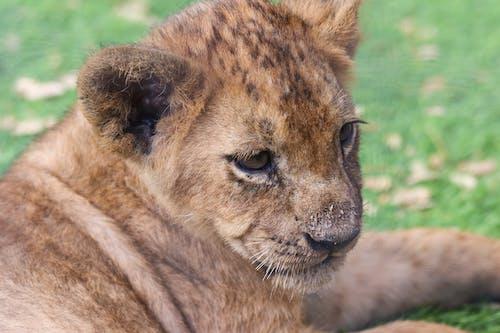 Základová fotografie zdarma na téma divočina, divoká kočka, divoké zvíře, divoký
