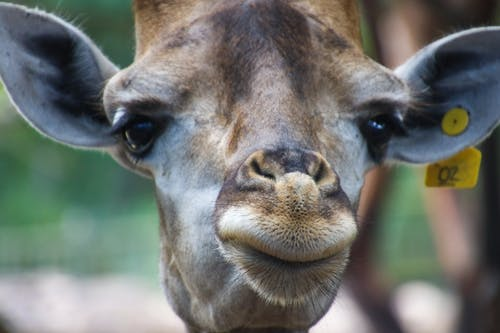 Closeup Photo of Giraffe's Face