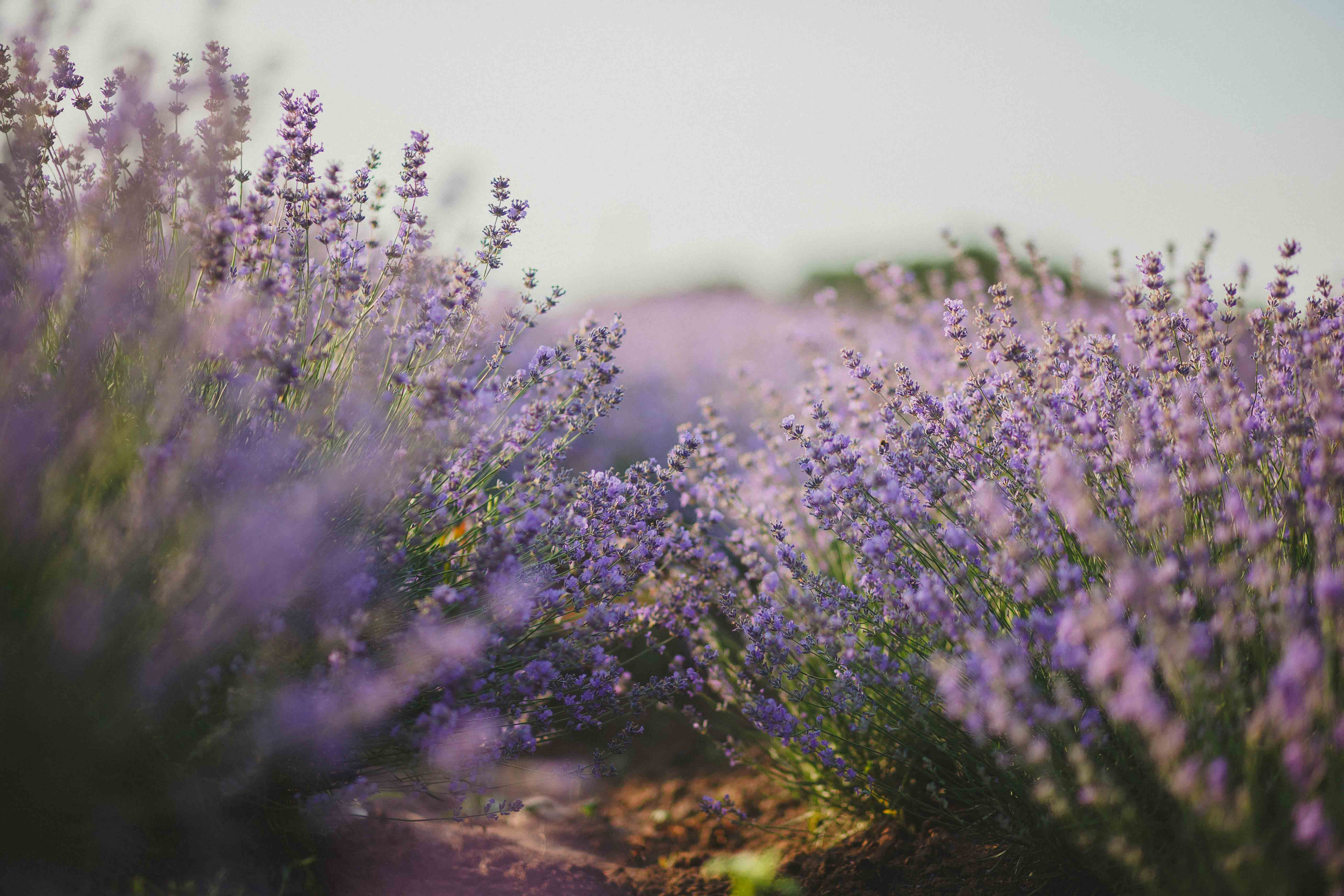 Purple Flower Field